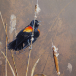 Red-Winged Blackbird by Andrew Denman