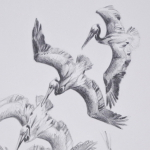 Pelican Drawing by Andrew Denman