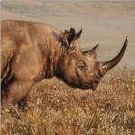 Black Rhino by Andrew Denman