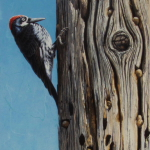 Acorn Woodpecker by Andrew Denman