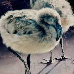 Flamingo Chicks by Andrew Denman