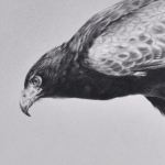 Harris Hawk Drawing by Andrew Denman