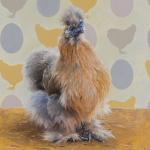 Silkie Chicken by Andrew Denman