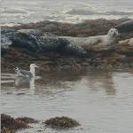 Harbor Seals and Sea Gull by Andrew Denman