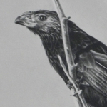 Groove-Billed Ani Drawing by Andrew Denman