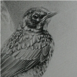 Robin Drawing by Andrew Denman