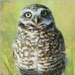 Burrowing Owl by Andrew Denman