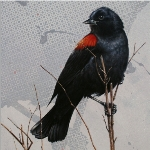 Red-Winged Balckbird by Andrew Denman