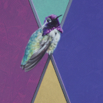 Costa's Hummingbird by Andrew Denman