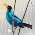 Green Honeycreeper by Andrew Denman