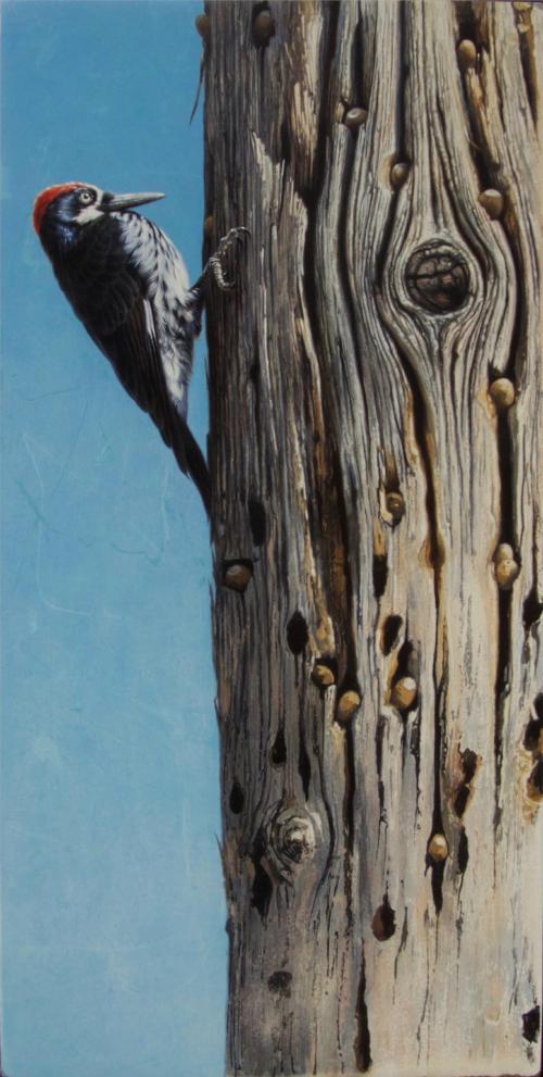 Acorn Woodpecker by Andrew Denman