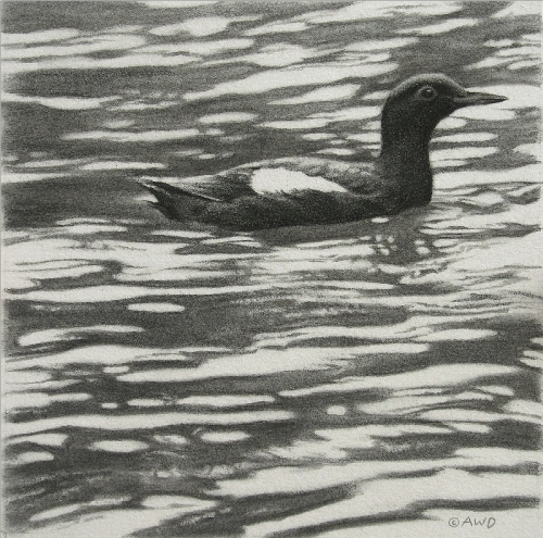 Guillemot Drawing by Andrew Denman