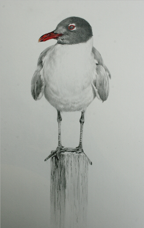Sea Gull Drawing by Andrew Denman