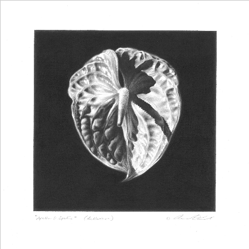 Anthurium Drawing by Andrew Denman