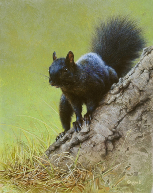 Black Squirrel by Andrew Denman