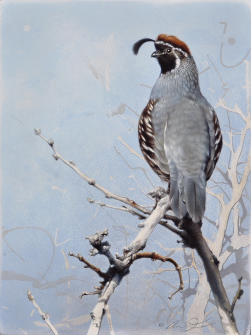 Gambel's Quail by Andrew Denman